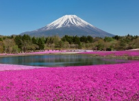 Pink Flowers Japan
