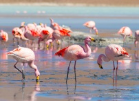 Flamingos in Bolivia