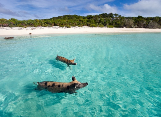 Pigs swimming in the ocean in the Bahamas