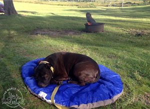 Brown Staffordshire Terrier Sleeping on a Blue Sleeping Bag