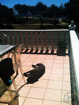 Staffy sunbaking on a balcony across from the beach