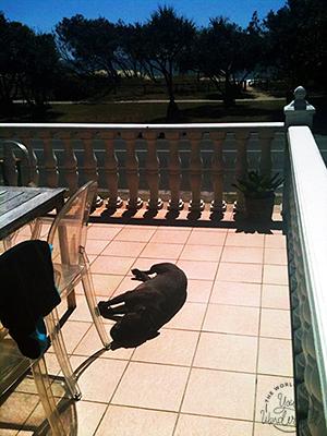 Staffy sunbaking on a balcony across from the beach