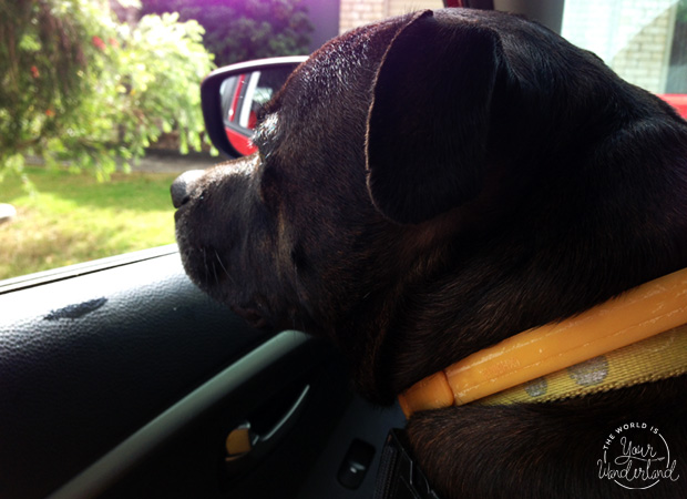 Brindle Dog Looking Out a Car Window