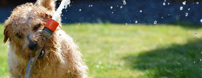 White shaggy wet dog with water hose